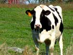 Shaw Farm Cows in Dracut, MA on Londonderry Hometown Online News