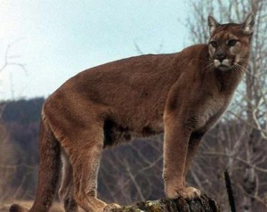 cougar new hampshire