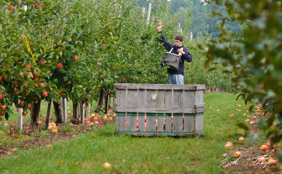 apple picking photo essay londonderry news picking gala apples