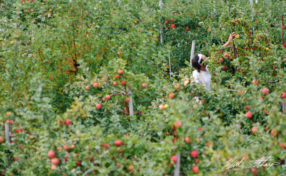 apple picking photo essay londonderry news picking apples in new hampshire
