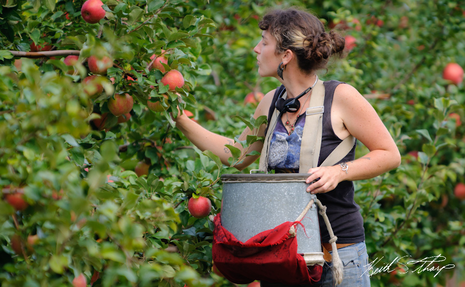 apple picking photo essay londonderry news emily miller picks apples