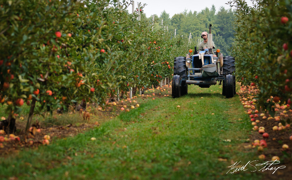 apple picking photo essay londonderry news tractor hauls apples