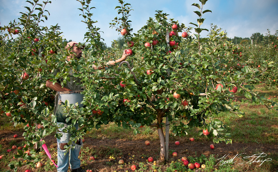 essay on after apple picking After apple picking term papers, essays and research papers available.