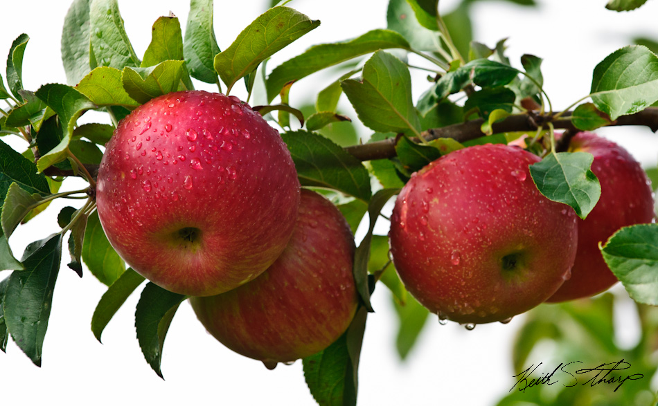 essay about fruit apple A short essay on apple fruit get by summarizing the apple in fact, apple a fruit was the body an ohio elementary school chose to say apple support is not to study apples to have pie.