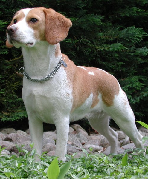 Fashion style Hunting Beagle pictures for girls