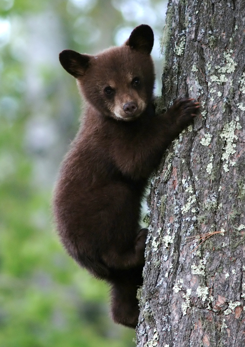 Help Nh Fish And Game Minimize Bear Human Interactions This Spring Londonderry News